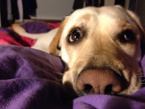 Allee,_my_assistance_dog.